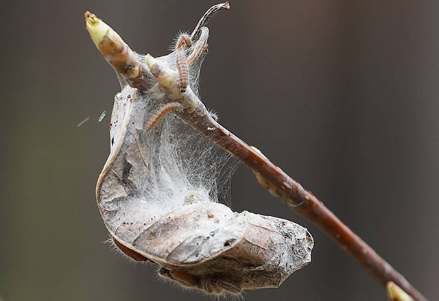 Кокон бабочки боярышницы