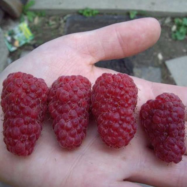 Крупные ягоды малины Богатырь
