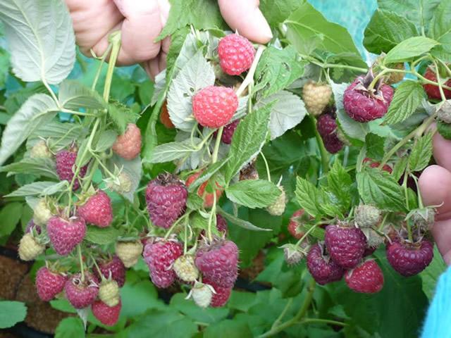 Большое количество плодов на побегах малины Джоан Джей