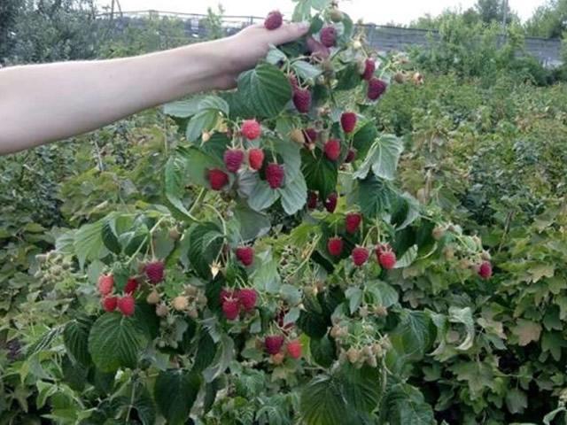 Плодоносящий куст малины Джоан Джи