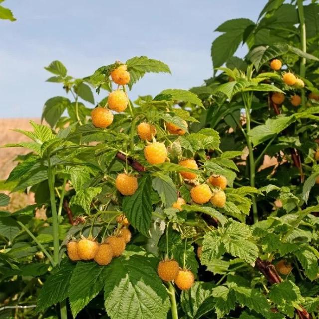 Плодоносящий куст желтой малины Голден Куин