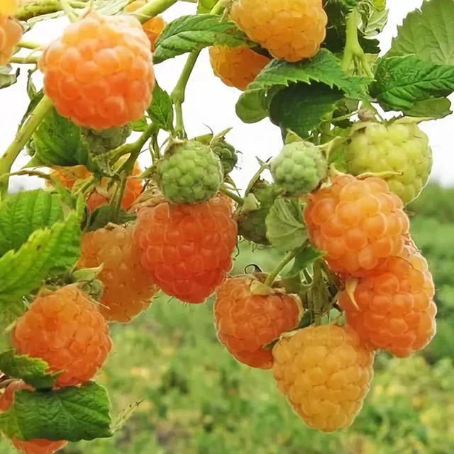 Плодовая ветка малины Голден Куин