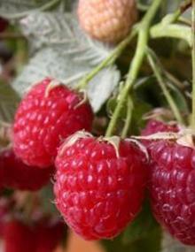Красные ягоды сорта Калашник