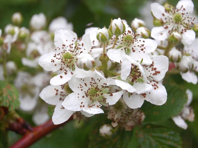 Цветущая малина сорта Колокольчик