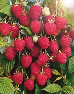 Плоды малины сорта Колокольчик