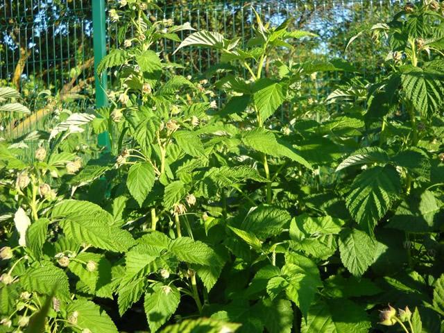 Зеленый куст малины Недосягаемая