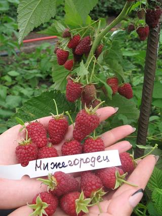 Урожай малины Нижегородец