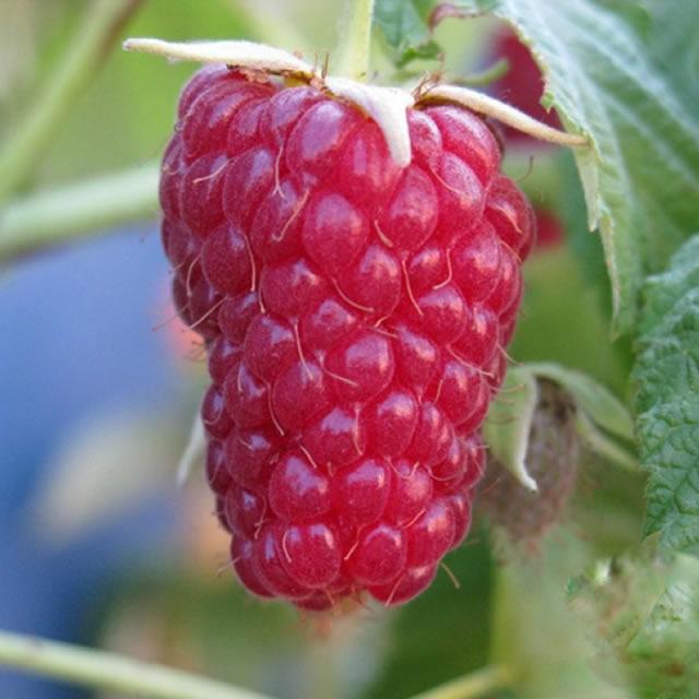 Крупная ягода малины сорт Носорог
