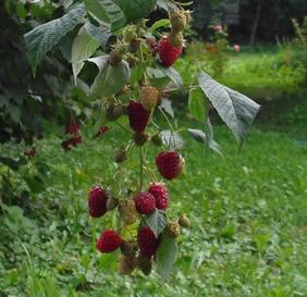 Плодоносящий побег малины сорта Пересвет