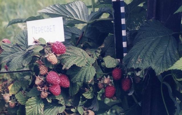 Плодоносящий куст малины Пересвет
