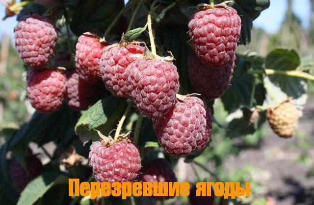 Перезревшие ягоды малины Полесье
