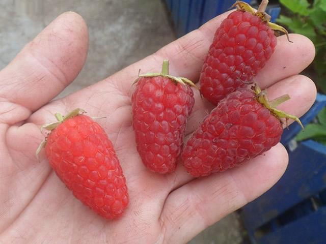 Крупные ягоды сорта Радзиева