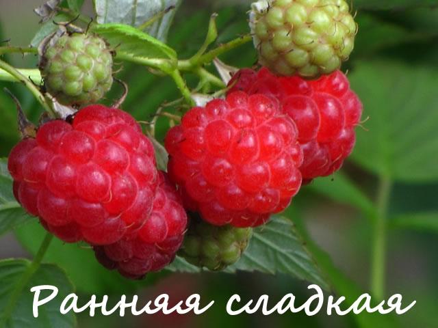 Мелкие ягоды малины сорт Ранняя сладкая