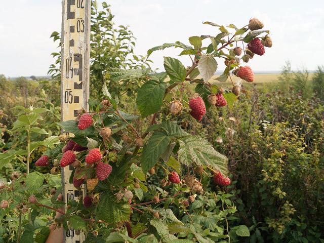 Плодоносящий куст малины Самохвал
