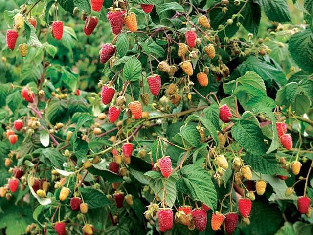 Штамбовые сорта малины
