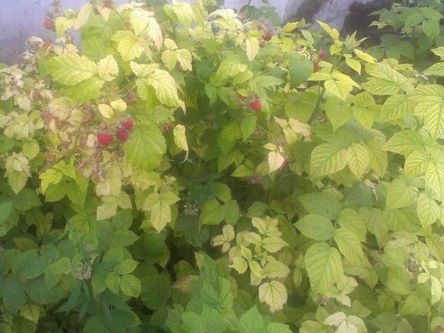 Хлороз листьев малины