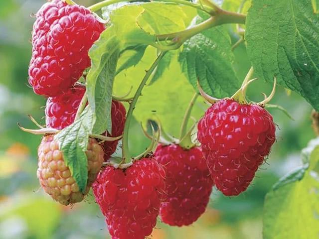 Красивые ровные ягоды штамбового сорта малины Терентий