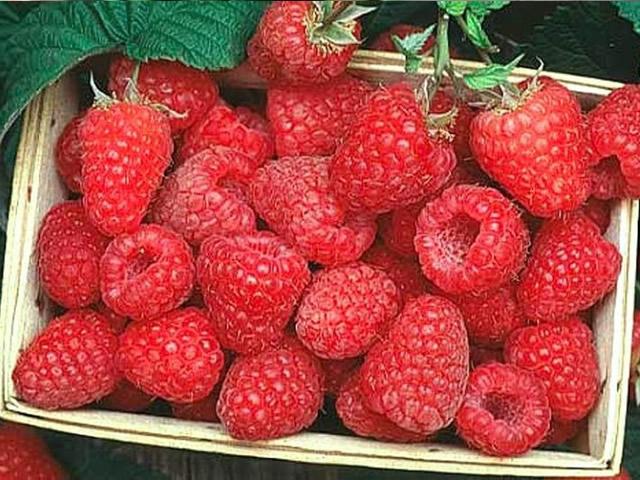 Крупные плоды малинового дерева Терентий