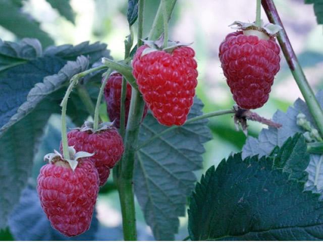 Крупные ягоды малины Антарес