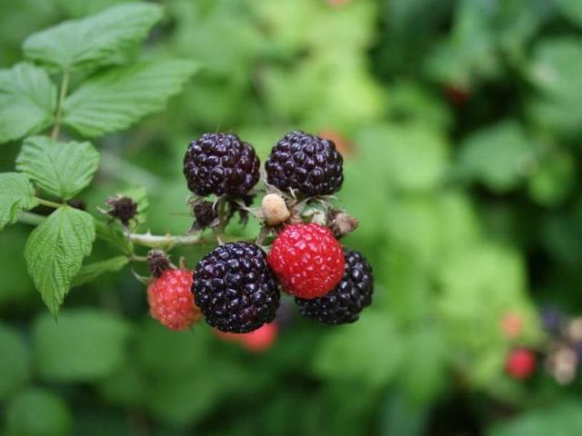Ветка с плодами черноплодной малины Бристоль