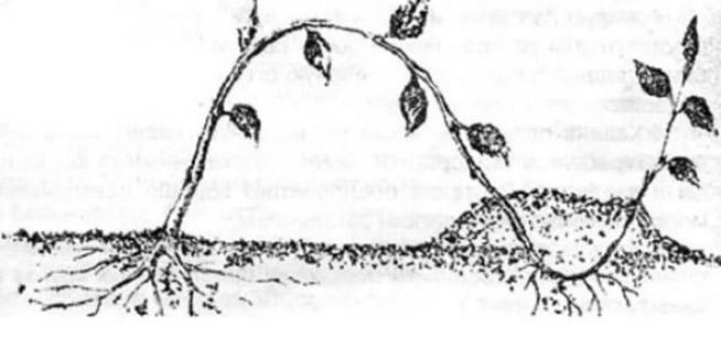 Размножение ежевики укоренением верхушки