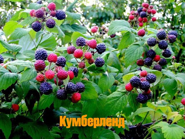 Сорт черной малины Кумберленд
