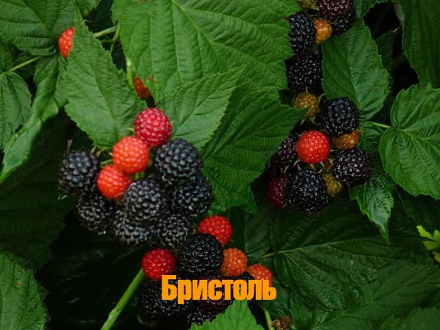 Сорт черноплодной малины Бристоль