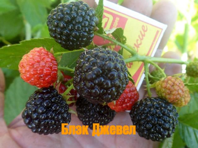 Сорт черной малины Блэк Джевел