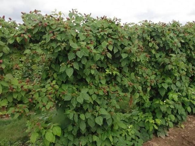 Плодоносящий куст ежевики Коламбия Стар
