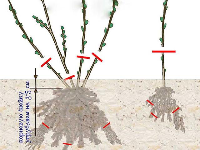 Обрезка стеблей ежевики при посадке