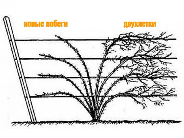 Формирование кустов стелющейся ежевики