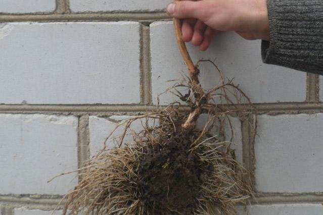 Хороший саженец ежевики с развитой корневой системой