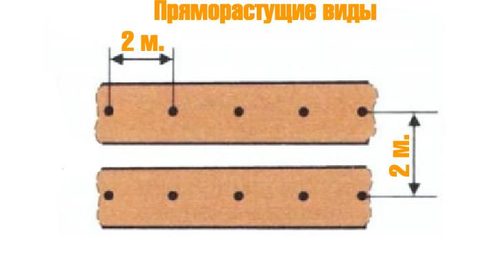 Схема посадки пряморастущих видов ежевики