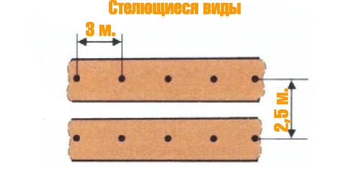 Схема посадки стелющихся видов ежевики