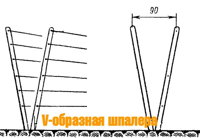 V-образная шпалера для ежевики