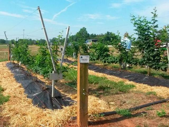 Выращивание ежевики на шпалере