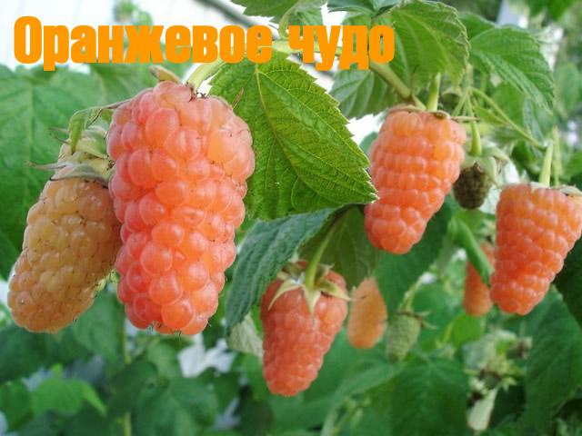 Желтоплодная малина сорт Оранжевое чудо