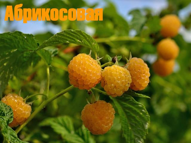 Желтая малина сорт Абрикосовая