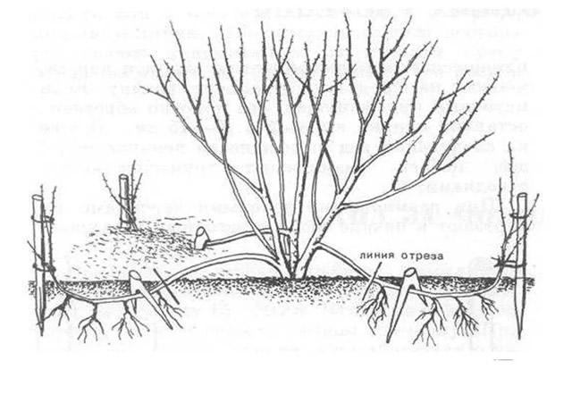 Размножение ежевики Китайским способом
