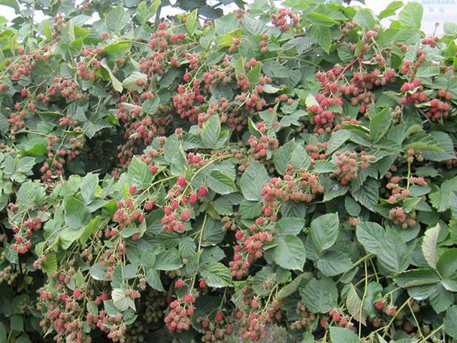Куст ежевики Лох Тей с зелеными ягодами