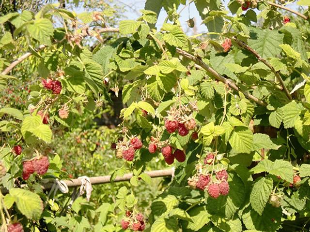 Плодоносящий куст малины Награда