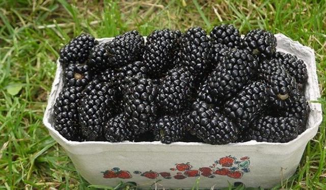 Собранный урожай ежевики Натчез