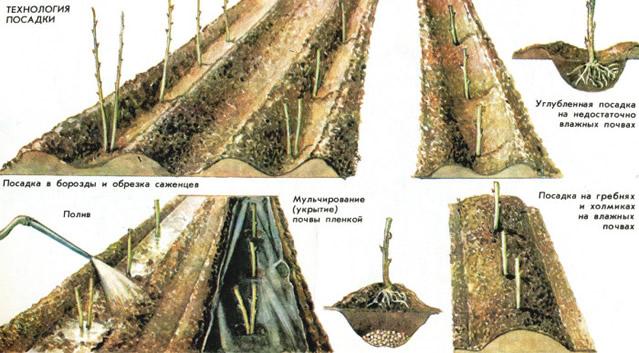 Технология посадки малины