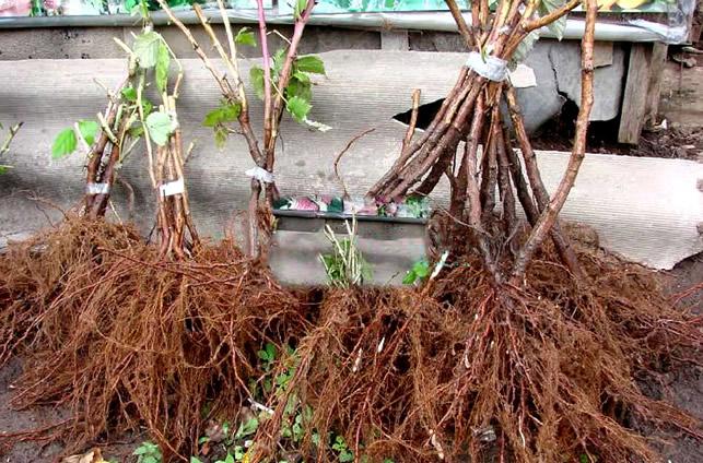 Хорошие саженцы малины с развитой корневой системой