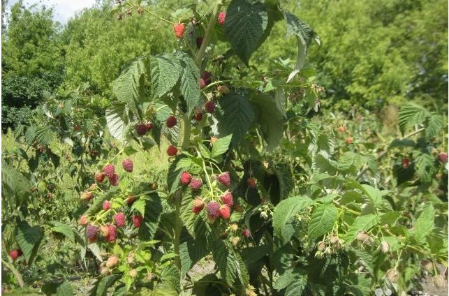 Плодоносящий куст малины сорт Поклон Казакову