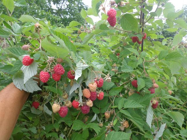 Плодоносящий куст малины Прелесть