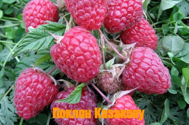 Ягоды малины сорта Поклон Казакову