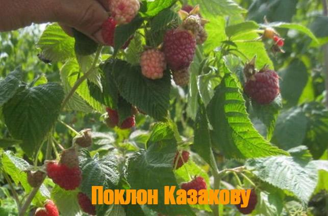 Плодоносящий побег малины Поклон Казакову