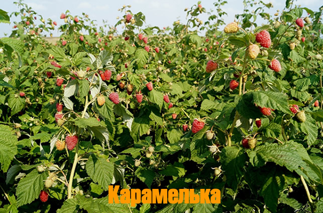 Плодоносящий куст малины Карамелька