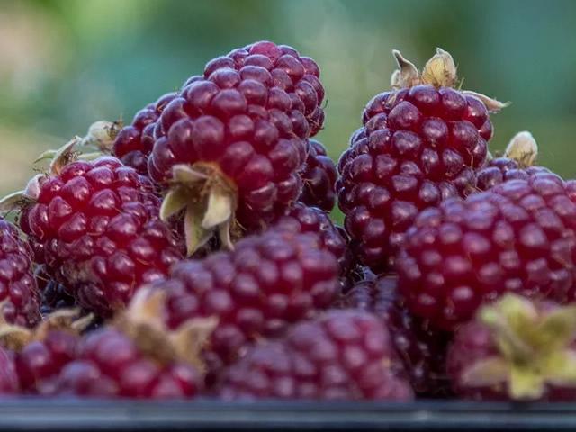 Аппетитные ягоды ежевики Тейберри